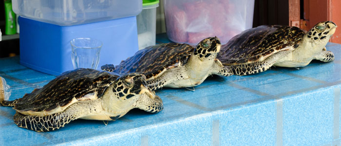 Stuffed hawksbill turtles openly sold on Derawan