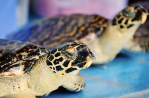 Ausgestopfte Echte Karettschildkröten angeboten auf Derawan