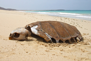 Skeleton of poached loggerhead turtle