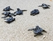 Loggerhead sea turtle hatchlings (image: Sapo Noticias, Cape Verde)