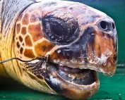 Loggerhead turtle bycatch victim