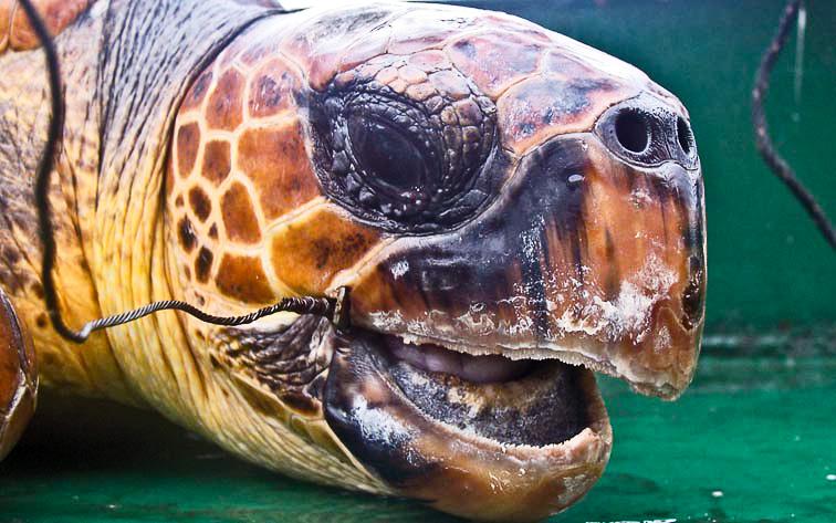 Loggerhead turtle bycatch victim