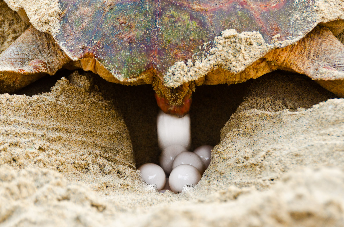 Egg laying of a loggerhead turtle, Boavista