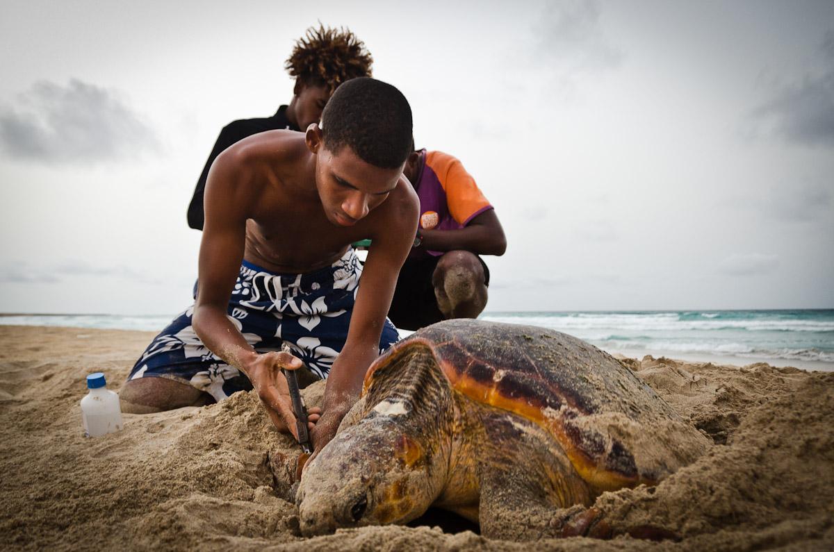 Tagging of a loggerhead sea turtle on Boavista, Cape Verde