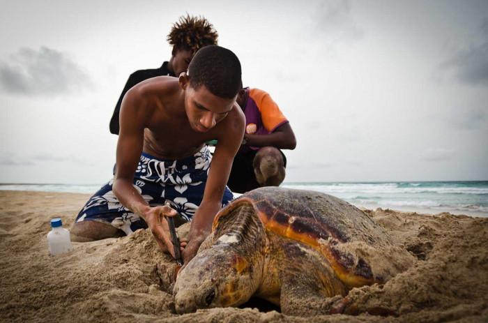Als Unternehmen spenden: Voluntäre und ein nistende Meeresschildkröte auf den Kapverden
