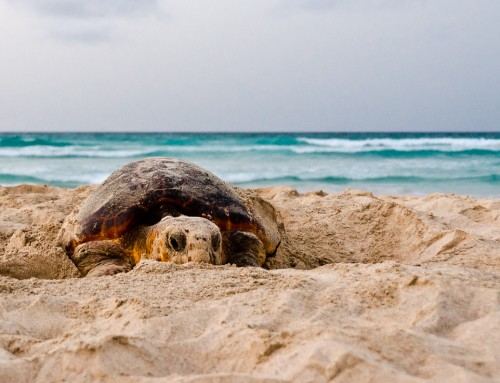 Why there could be much fewer sea turtles than previously assumed – and how this might affect our work, too