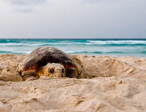 Warum es viel weniger Meeresschildkröten geben könnte, als bisher angenommen – und was das auch für unsere Arbeit bedeutet