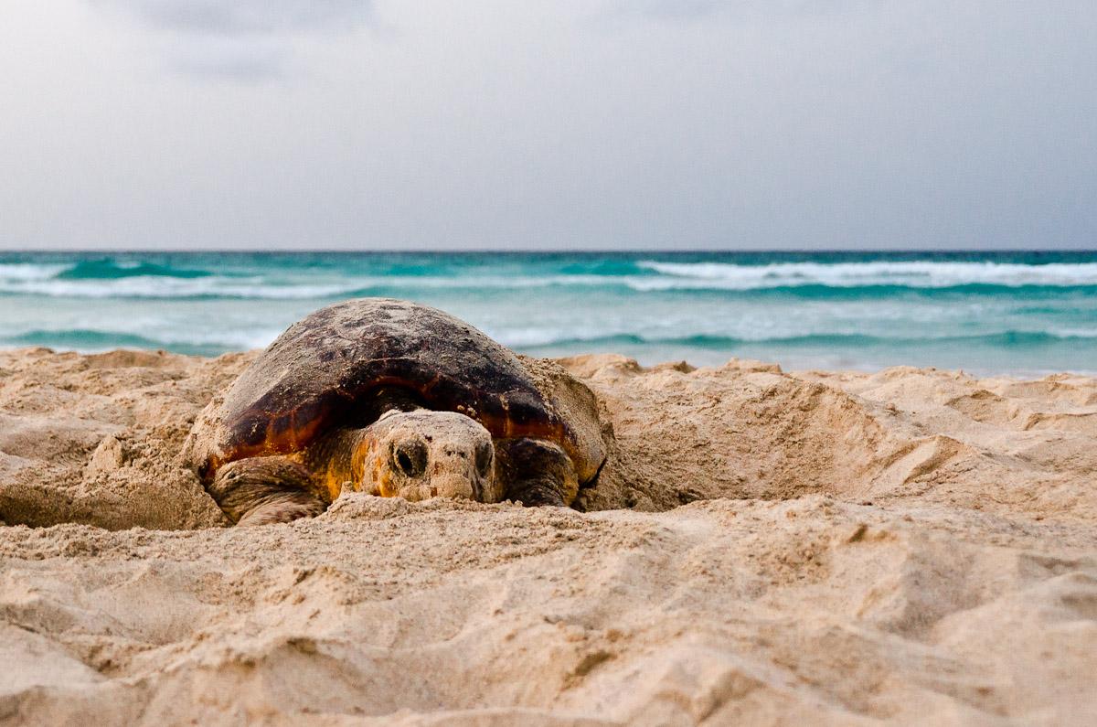 Nesting loggerhead turtle