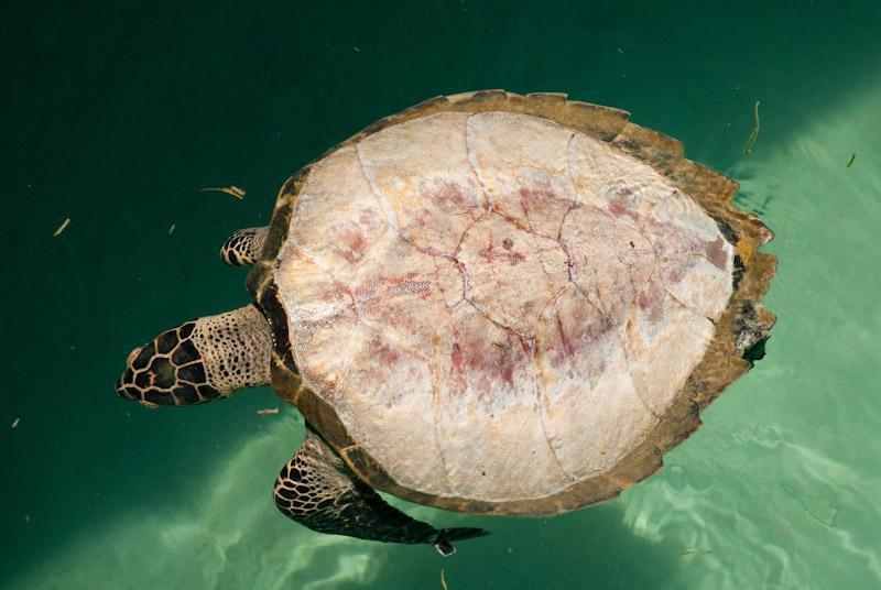 Dead, de-scaled hawksbill turtle floating in the sea; Berau, Indonesia