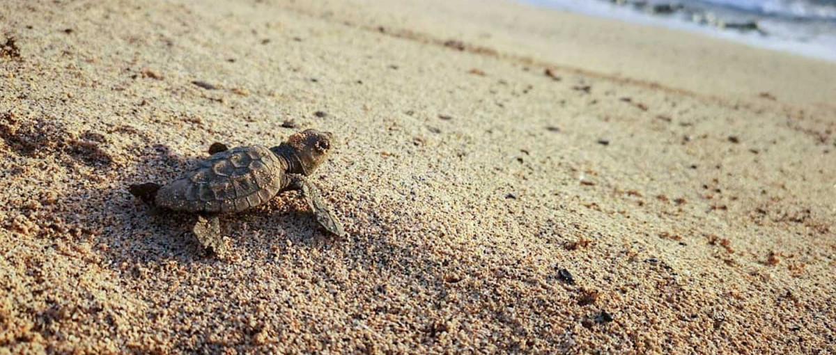 Donation Spenden Doar - Loggerhead turtle hatchling Caretta caretta