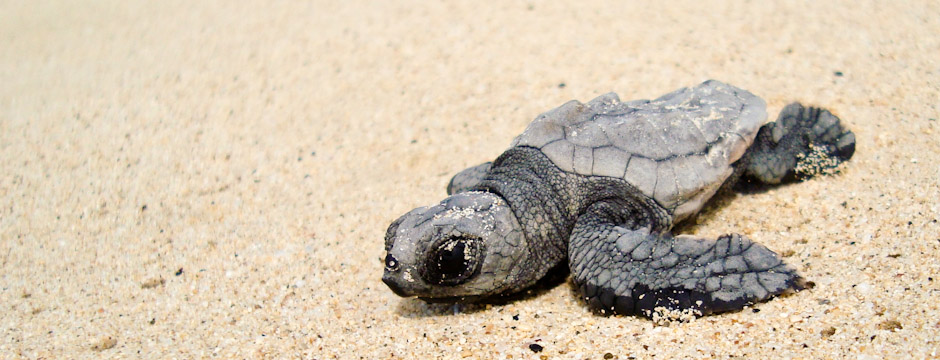 Loggerhead hatchling on Boavista