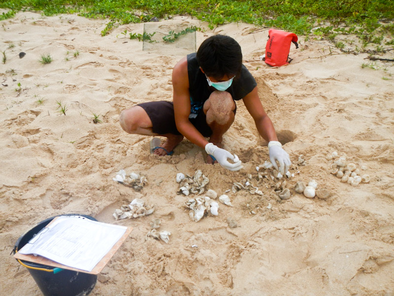 Ranger counting egg shells in a hatched leatherback sea turtle nest, Sipora, Indonesia