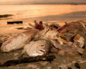 Dead fish on beach