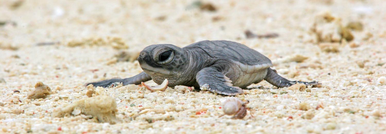Loggerhead sea turtle hatchling