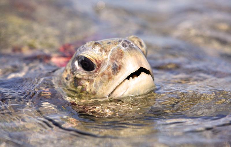 Green turtle surfacing