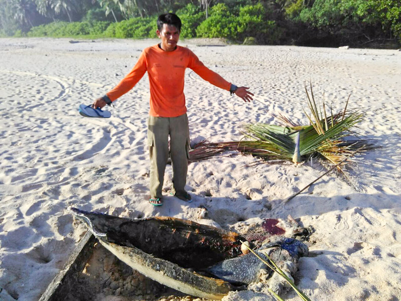 Ranger showing the shell of a poached leatherback sea turtles, Sipora, Indonesia