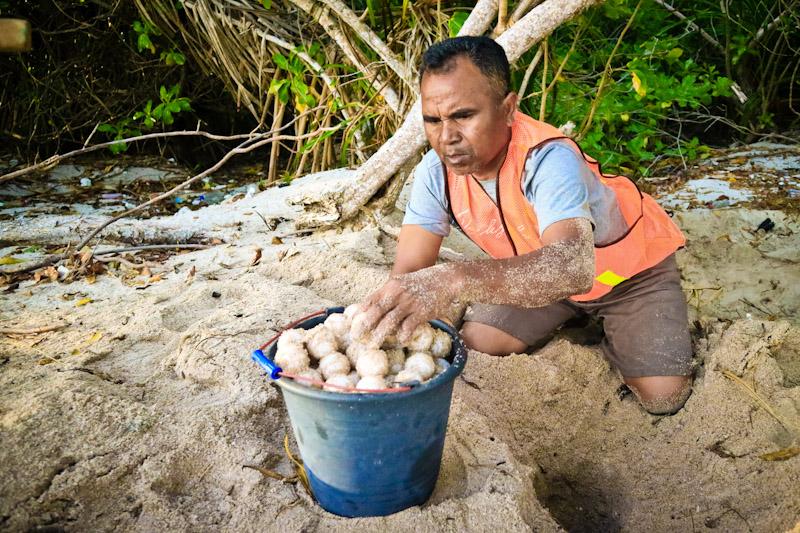 Ranger relocates endangered turtle nests on Belambangan
