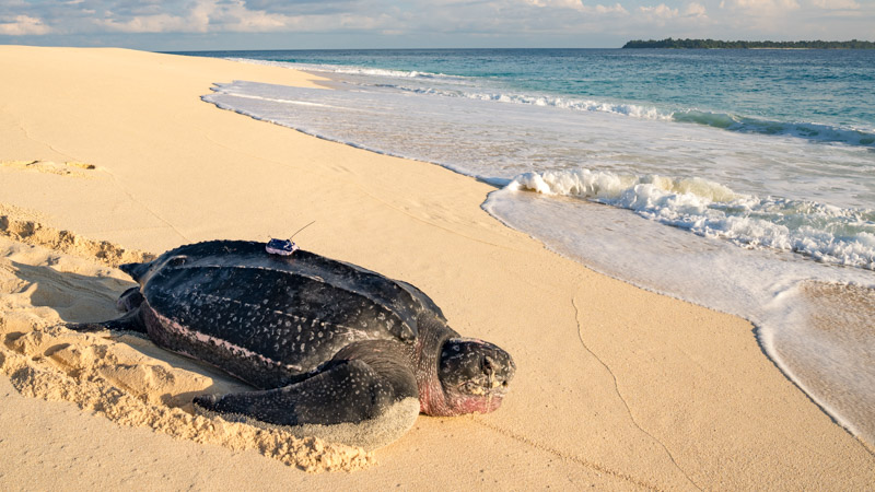Leatherback sea turtle with satellite tag on Selaut Besar, Indonesia
