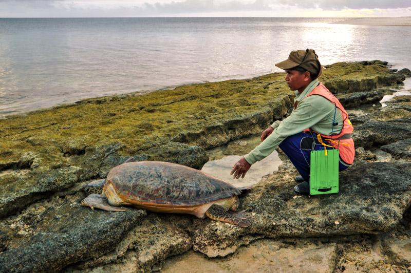 Ranger with green turtle returning to the sea on Belambangan