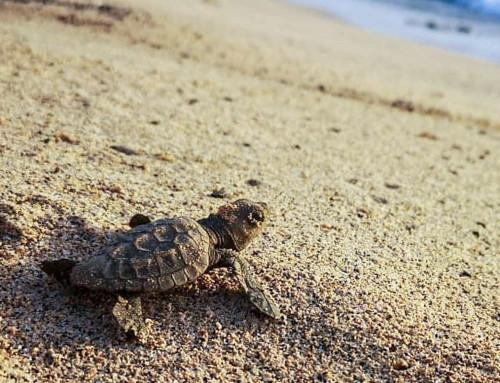 Newsletter September 2020: Sea turtle protection despite corona