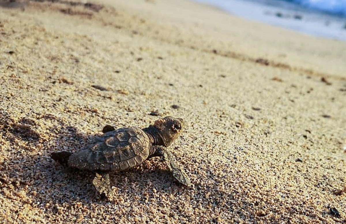 Loggerhead turtle hatchling, Boa Vista, Cape Verde