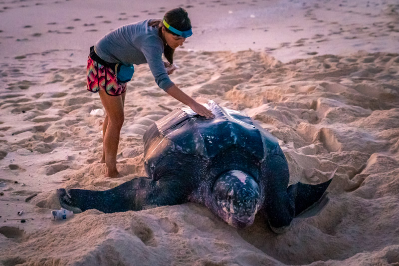 Leatherback sea turtle on Selaut Besar, West Sumatra, Indonesia