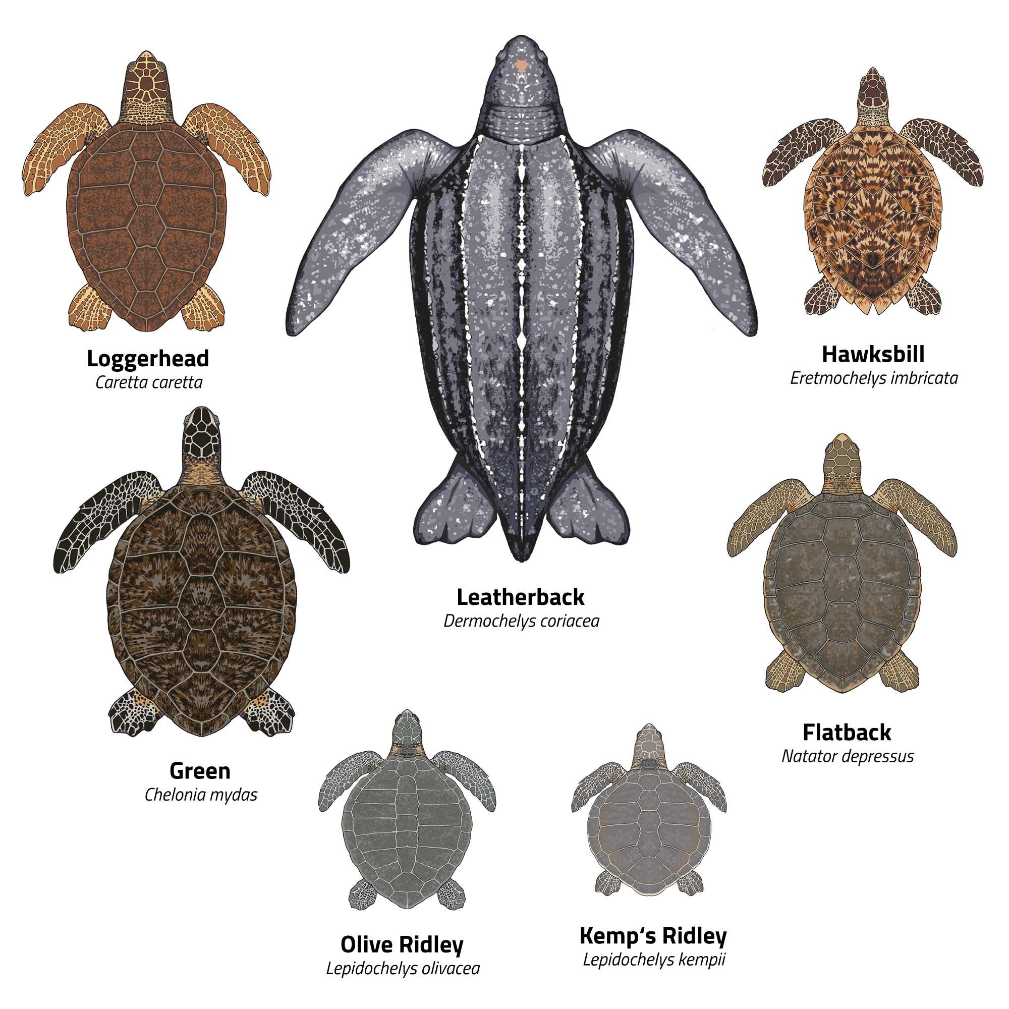 Sea turtles species