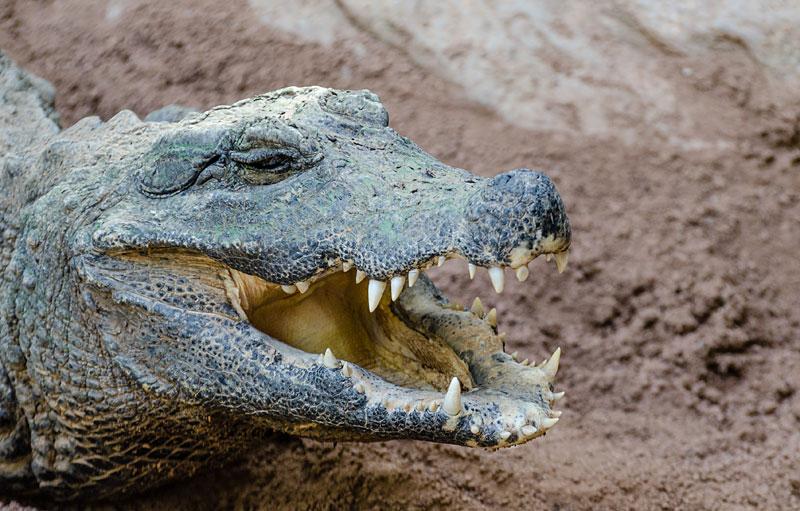 Crocodyle Osteolaemus tetraspis (Wikipedia)