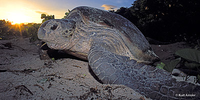 Nesting green turtle; image by Kurt Amsler