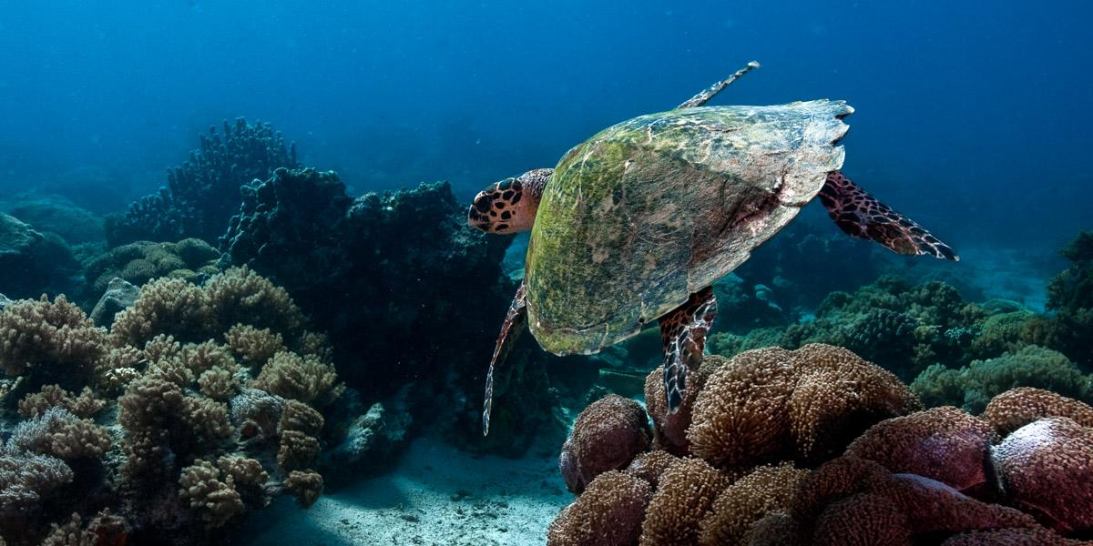 Als Unternehmen spenden: Meeresschildkörte im tiefblauen Ozean