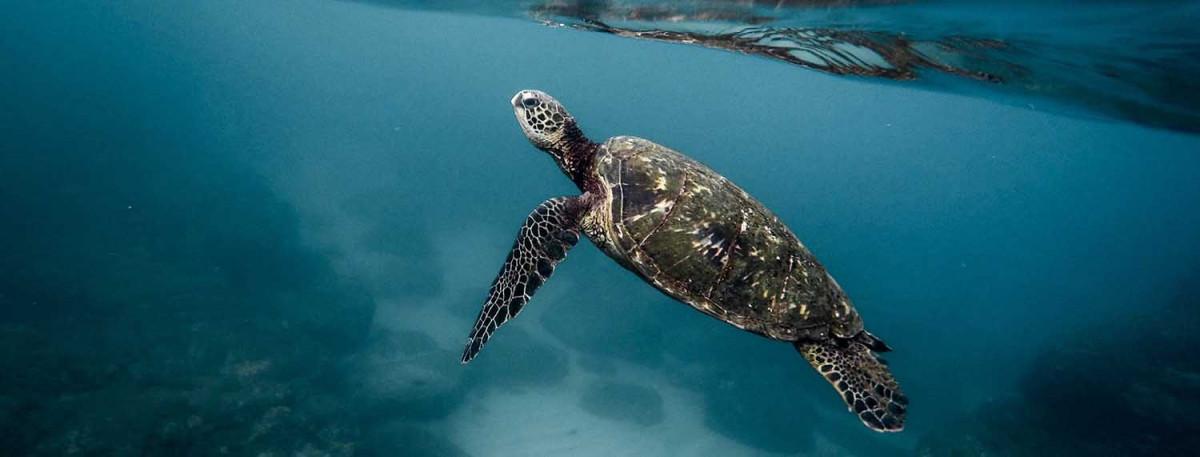 Sea turtle shop header