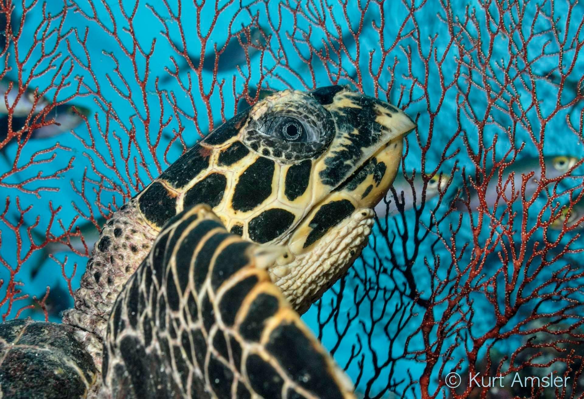 Hawksbill turtle portrait by Kurt Amsler