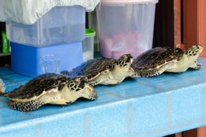 Stuffed hawksbill turtles sold on Derawan