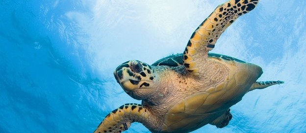 hawksbill_sea_turtle