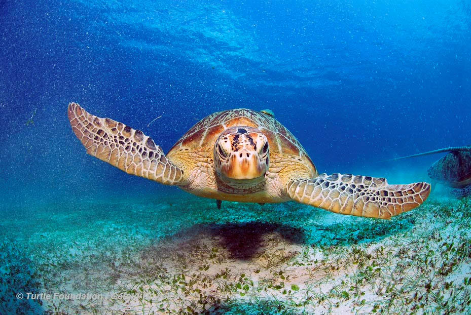 Green Turtle photograph by Gerald Nowack
