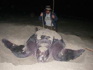 Leatherbacks_Tapilatu_UAB_s