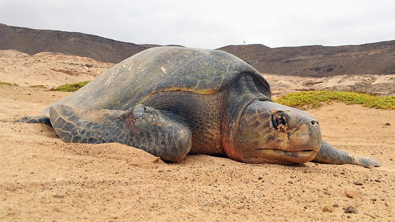 Olive ridley sea turtle on Boavista