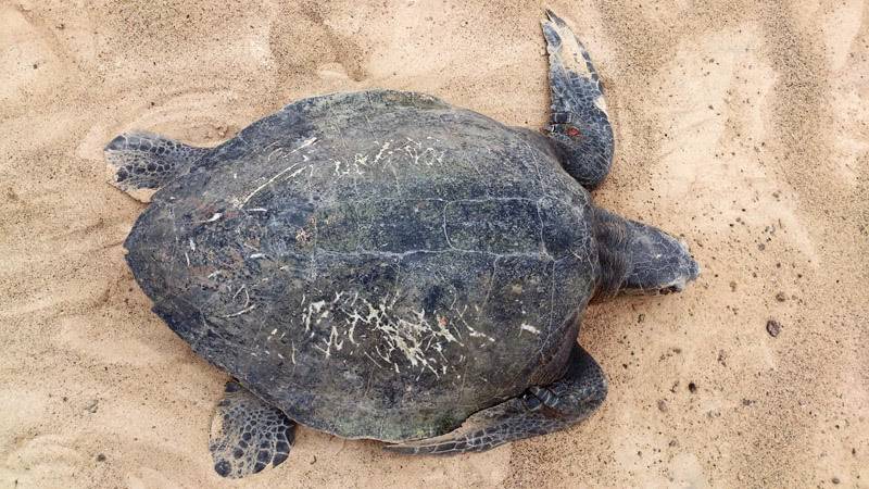 Olive ridley sea turtle on Boavista