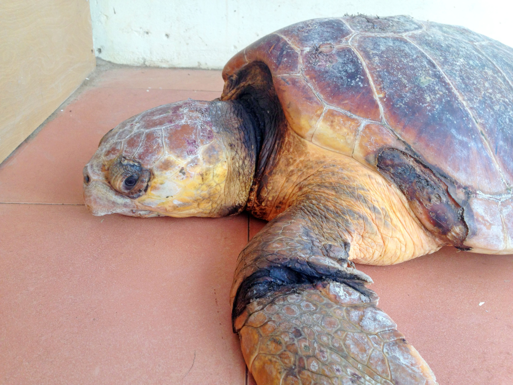 The injured turtle shows marks from nets