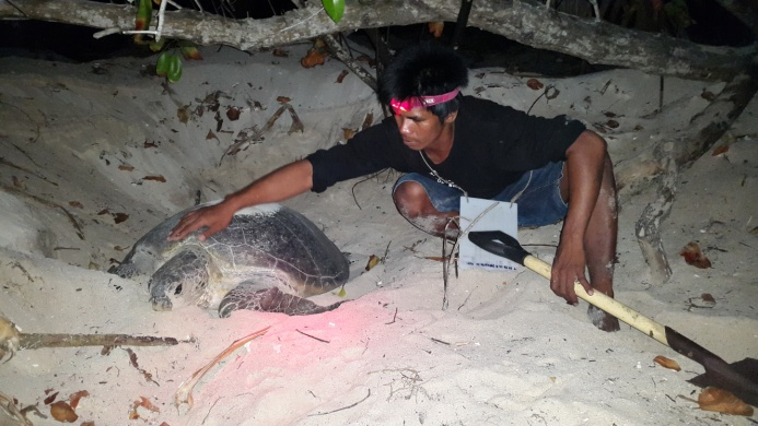 Hana report November 2015 – nesting turtle