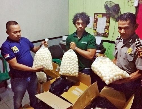 4.600 geschmuggelte Eier geschützter Meeresschildkröten in Tanjung Redeb konfisziert