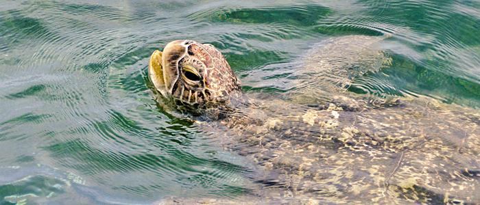 Grüne Meeresschildkröte beim Luftholen