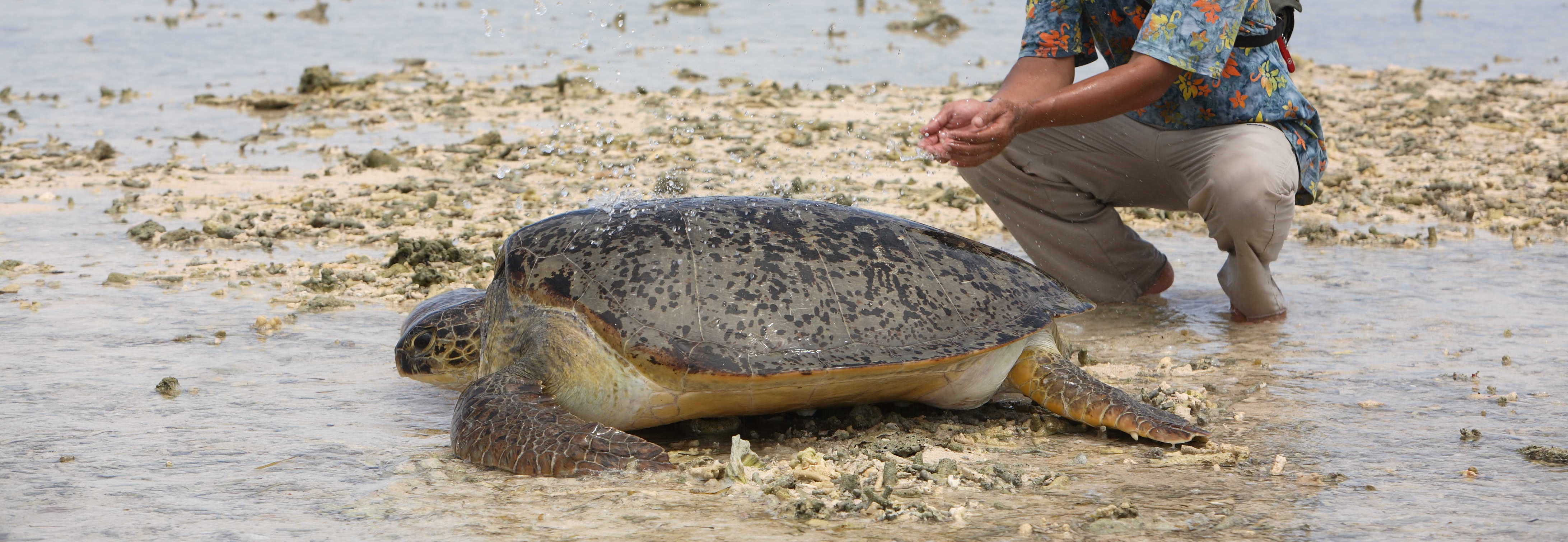 Grüne Meeresschildkröte