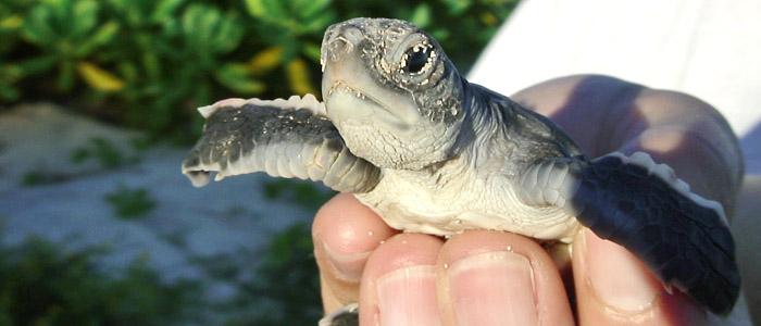 Green turtle hatchling
