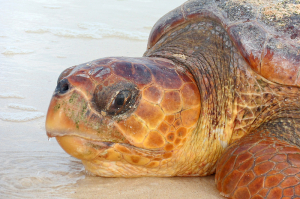 Loggerhead sea turtle after nesteing