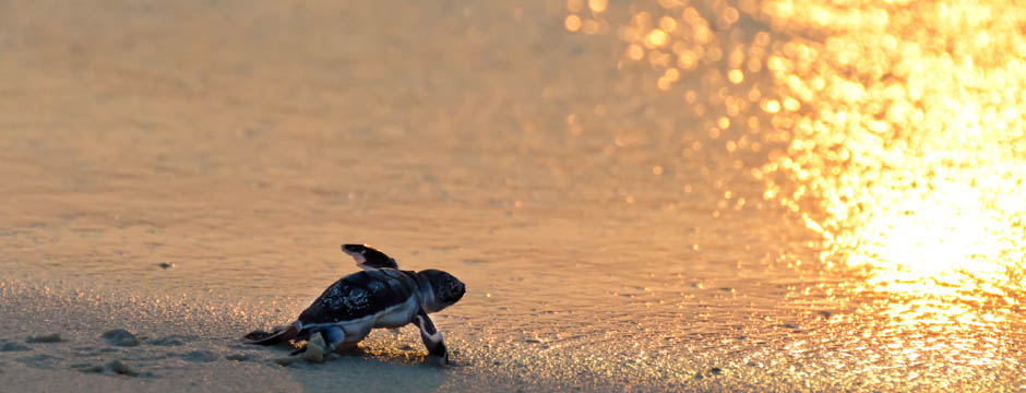 Green turtle hatchling entering the sea