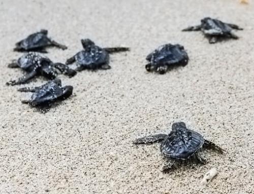 Parlamentsangehörige der Republik Kap Verde sind besorgt über den Schutz der einheimischen Meeresschildkröten