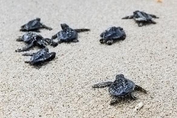Loggerhead sea turtle hatchlings (image: Sapo Noticias, Cape Verde)