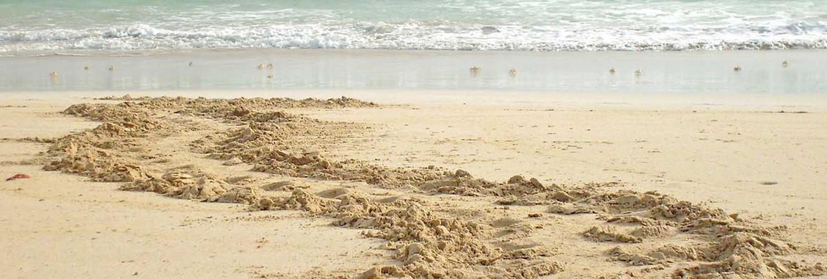 sea turtle tracks on the beach